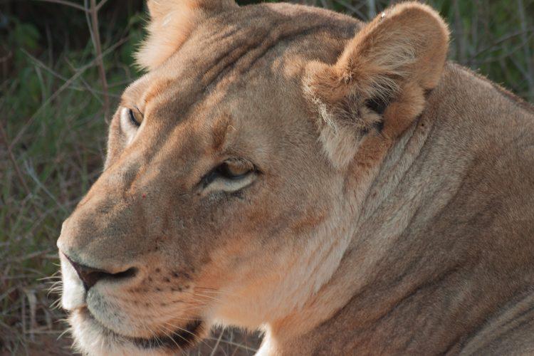 Lioness at Kariega Game Reserve