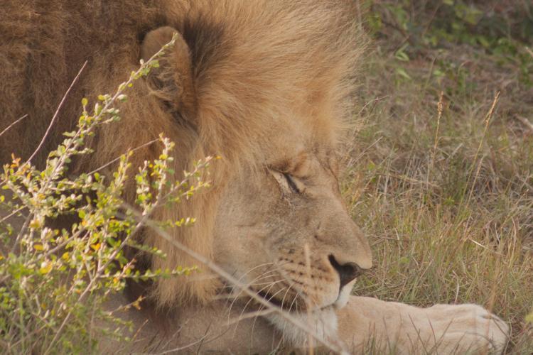 Male lion at Kariega
