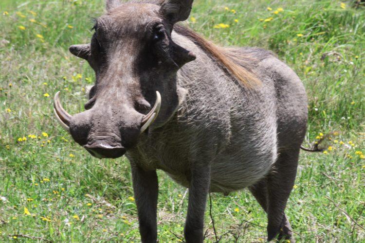 Male warthog at Kariega Game reserve