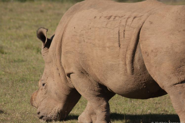 White rhino at Kariega Game reserve