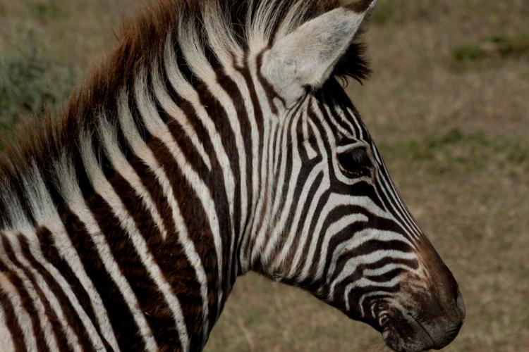 Close up of baby zebra in South Africa