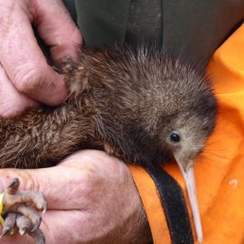 Conservation volunteer holding kiwi bird
