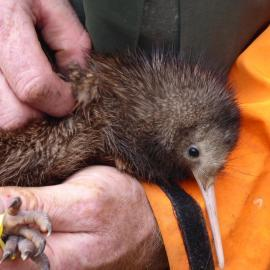 Conservation volunteer holding kiwi bird
