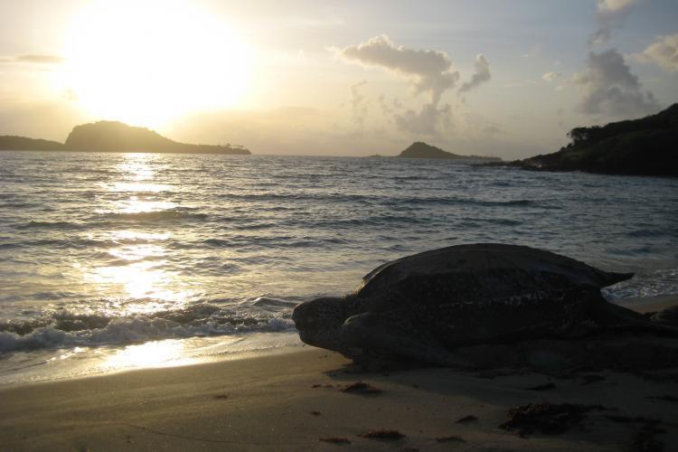 Leatherback at dusk in Grenada