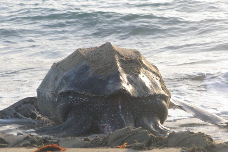 Leatherback entering the ocean in Grenada