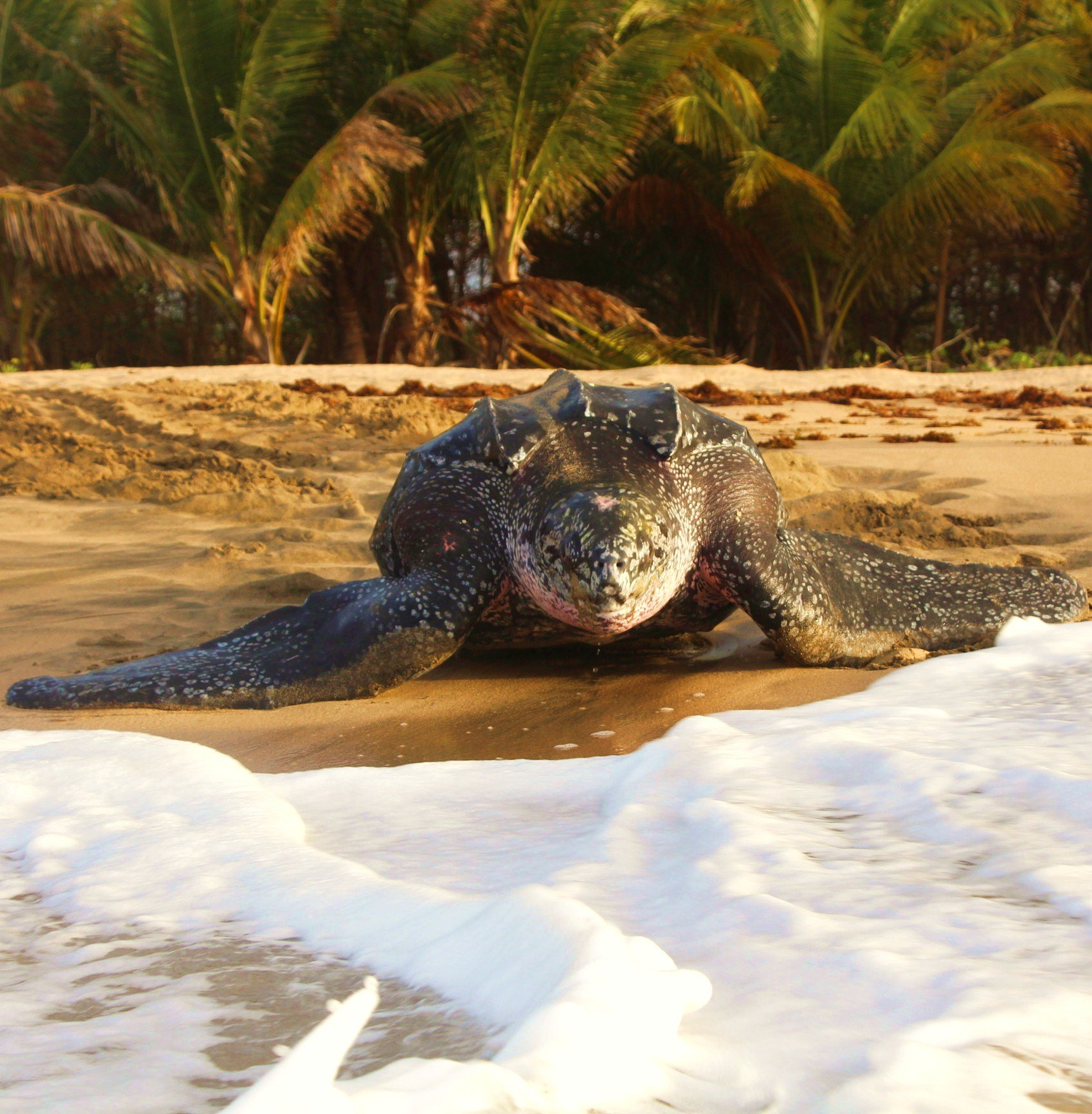 Leatherback head on photo Grenada Work Grenada | Leatherback Sea Turtle Volunteer | Working Abroad