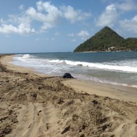 Leatherback nesting on Levera beach in Grenada