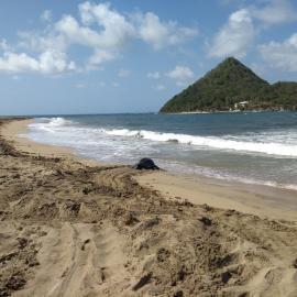 Leatherback nesting on Levera beach in Grenada