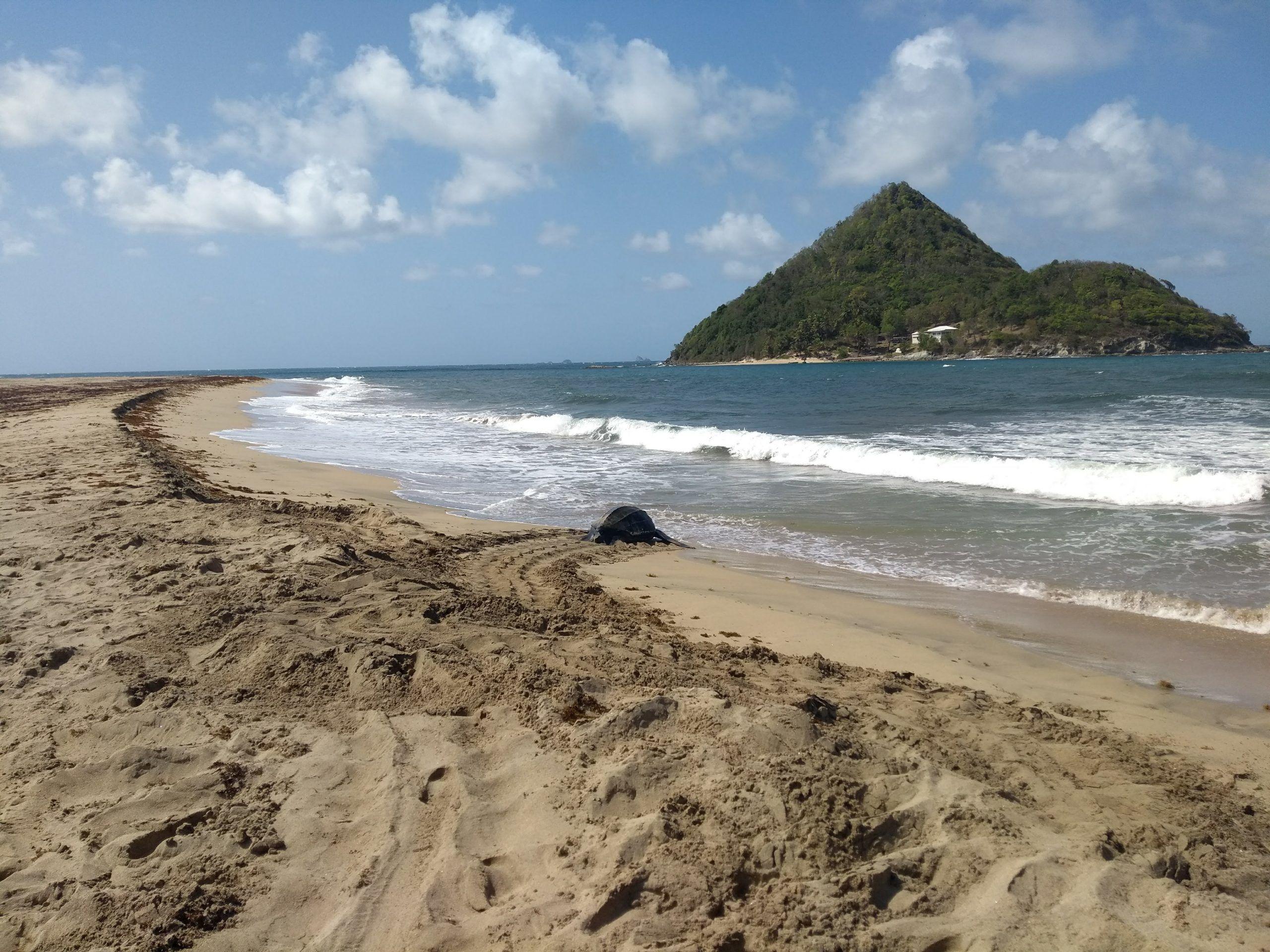 Leatherback nesting on Levera beach in Grenada Work Grenada | Leatherback Sea Turtle Volunteer | Working Abroad