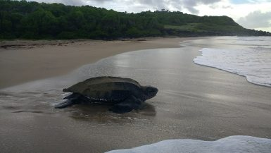 Leatherback returning to the sea after nesting