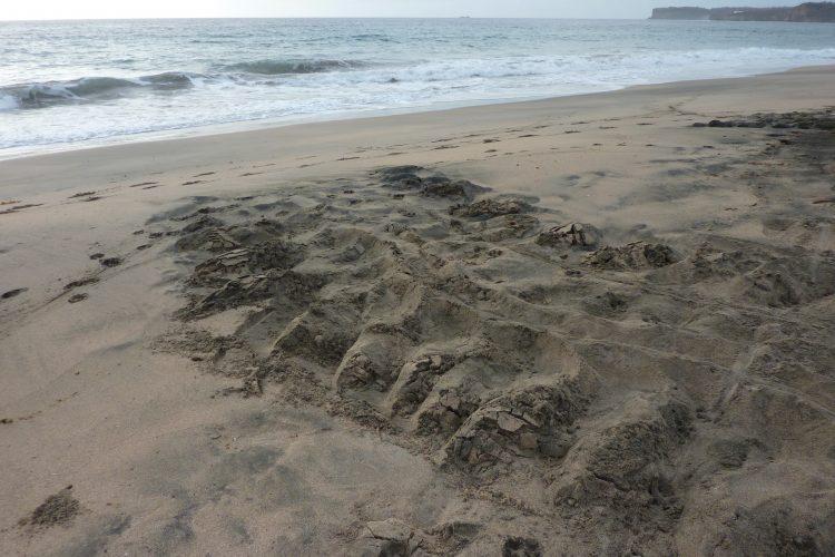 Tracks of leatherback sea turtle in Grenada