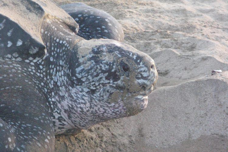 Leatherback sea turtle closeup Grenada