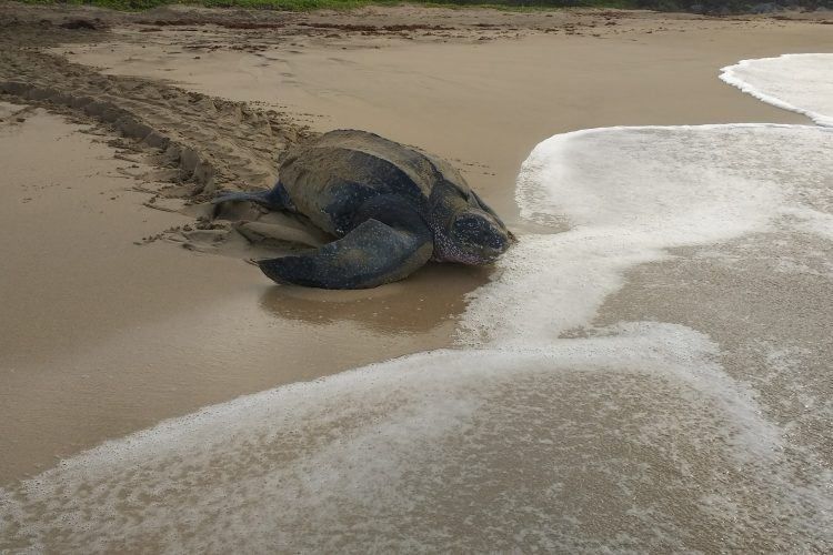 Leatherback turtle entering the sea