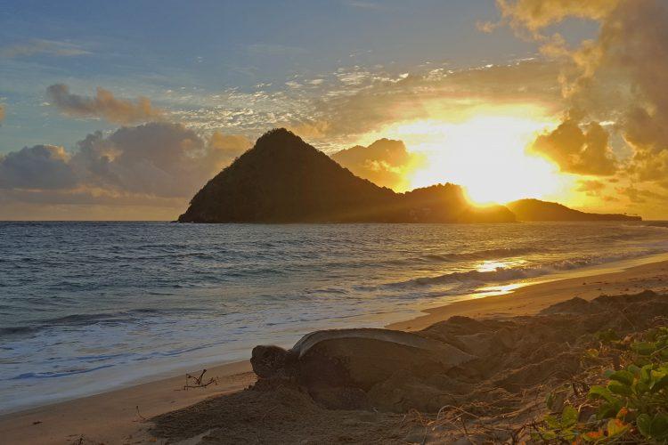 Leatherback turtle nesting at sunrise in Grenada