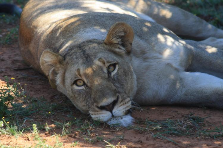 Lioness sleeping in South Africa