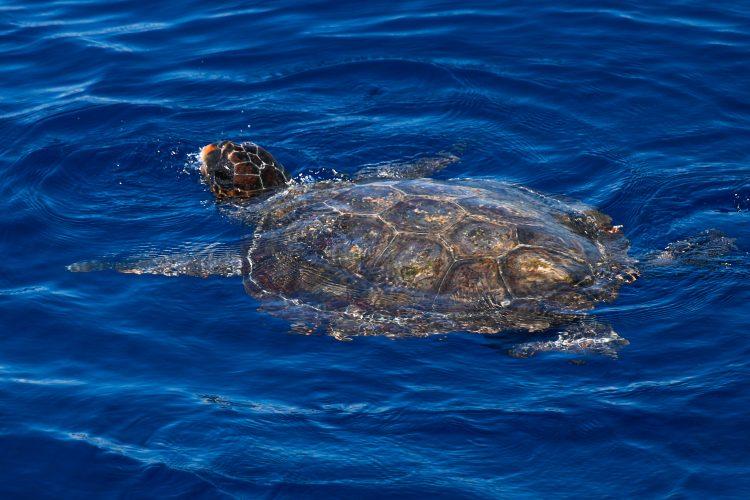 Loggerhead sea turtle in Italy