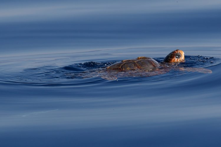 Loggerhead sea turtle sticking head out of water