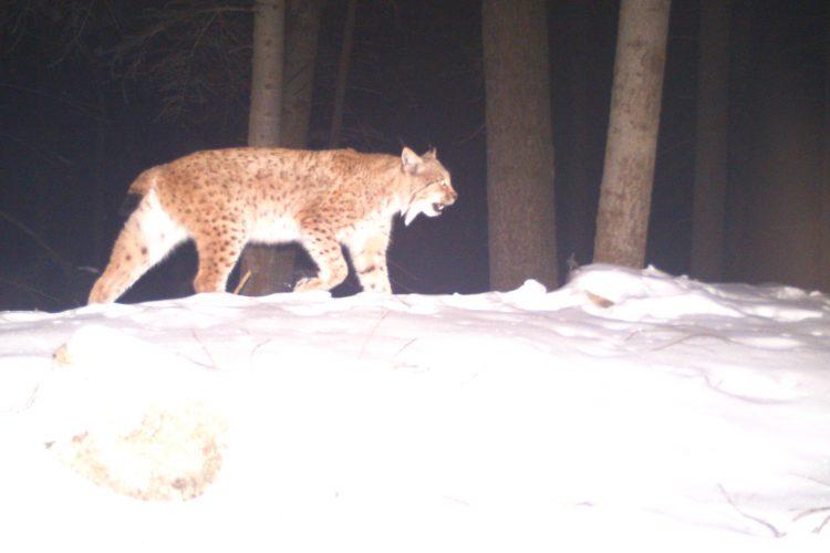 Lynx camera trap photo Slovakia