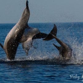 Volunteers watch male dolphins fighting in Croatia