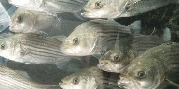Fish swimming in Cape fear river
