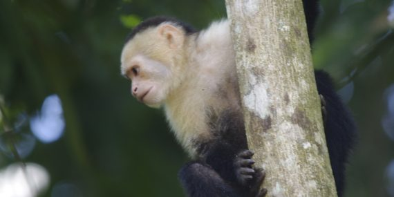 White faced capuchin monkey in Costa Rica