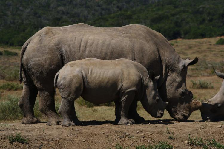 Mother and baby rhino in South Africa