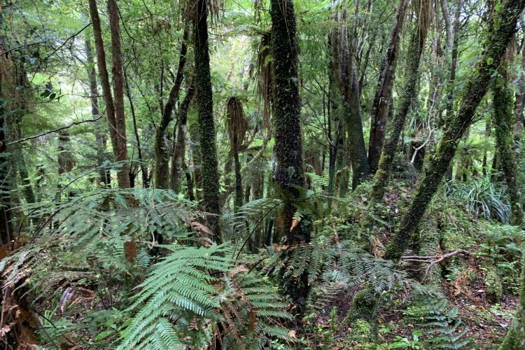 New Zealand native forest