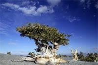 Tree typical of Nevada