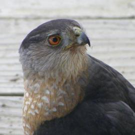 Hawk photo taken by Abigail in Oregon