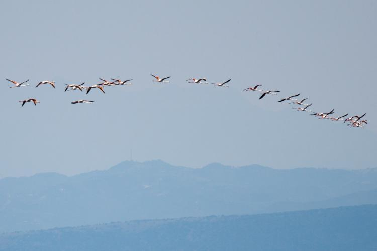Pink flamingoes in Greece
