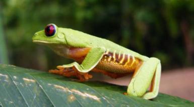 Tree frog Playa Tortuga