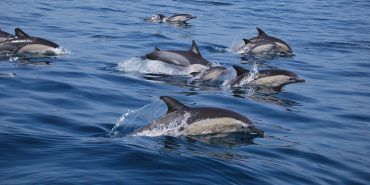 Pod of dolphins swimming in Portugal