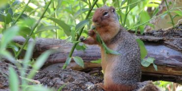 Red squirrel in Oregon