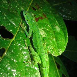 Lizard in Ecuador cloud forest