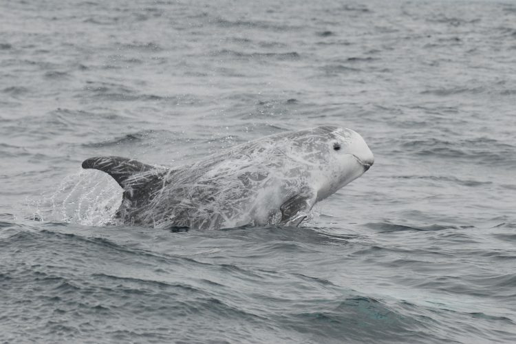 Rissos dolphin swimming in Portugal