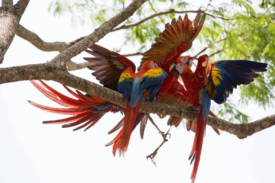 Scarlet macaws playing after release