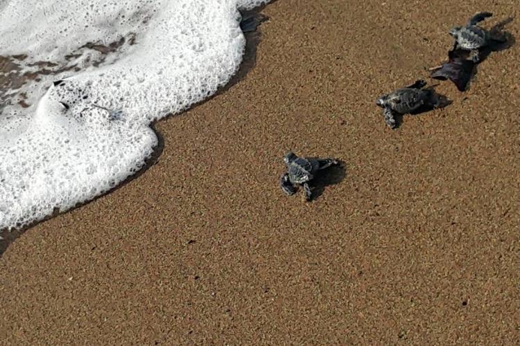 Sea turtle babies Costa Rica