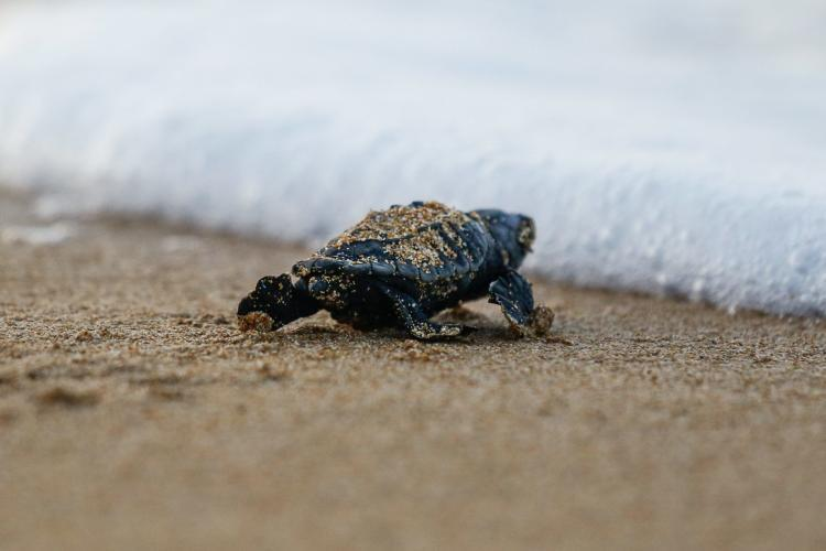 Sea turtle reaches sea in Greece