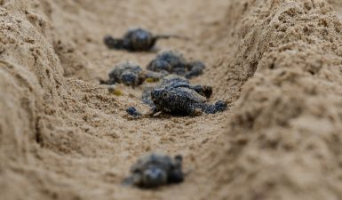 Sea turtle hatchlings in Greece