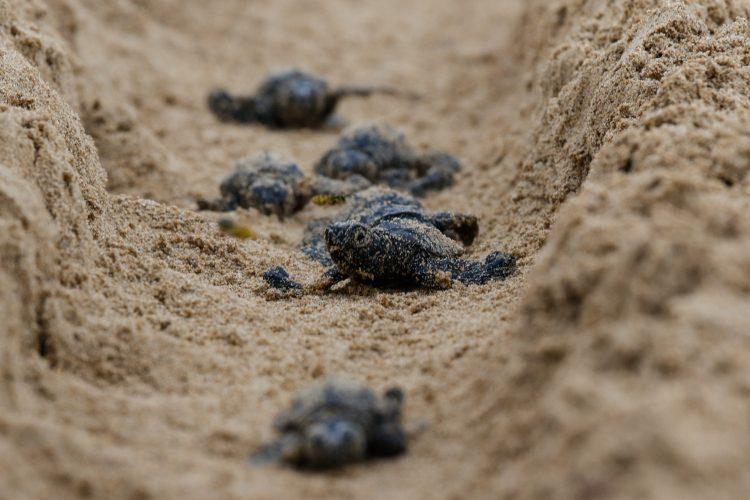 Sea turtle hatchlings in Greece