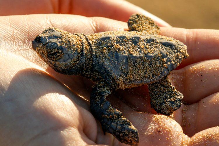 Baby sea turtle in hands in Greece