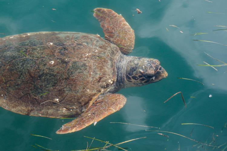 Sea turtle swimming in Greece