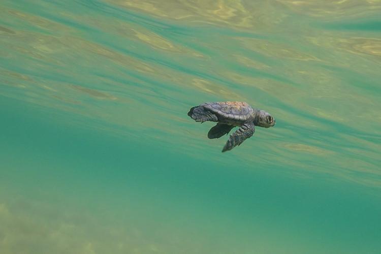 Baby sea turtle underwater in Greece
