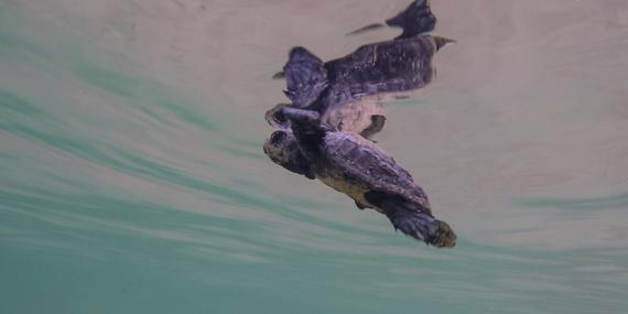 Baby sea turtle swimming Greece