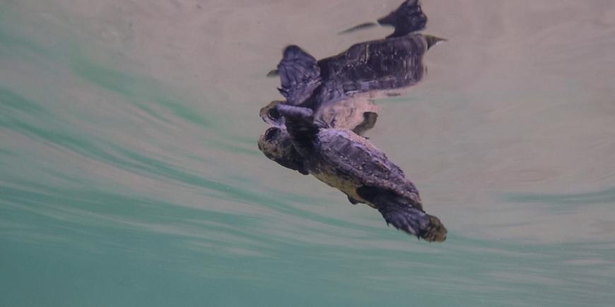 Baby sea turtle swimming Greece
