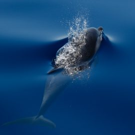 Striped dolphin research in Italy