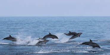 Group of dolphins leaping