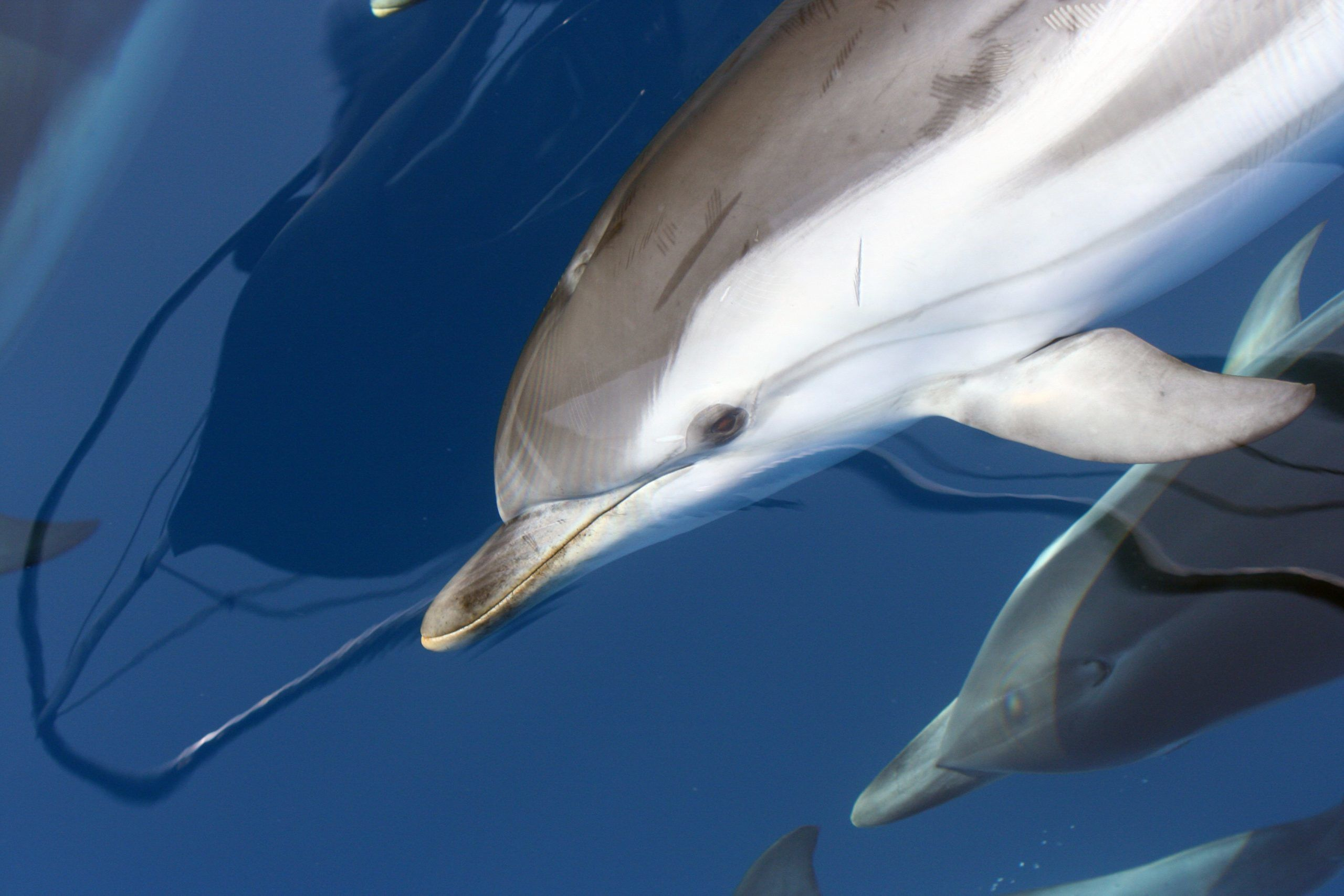 Striped dolphin swimming under the boat