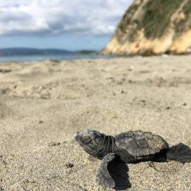 Sea turtle hatchling crawling on beach Kefalonia