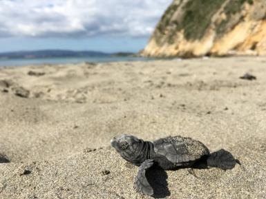 Sea turtle hatchling crawling on beach Kefalonia